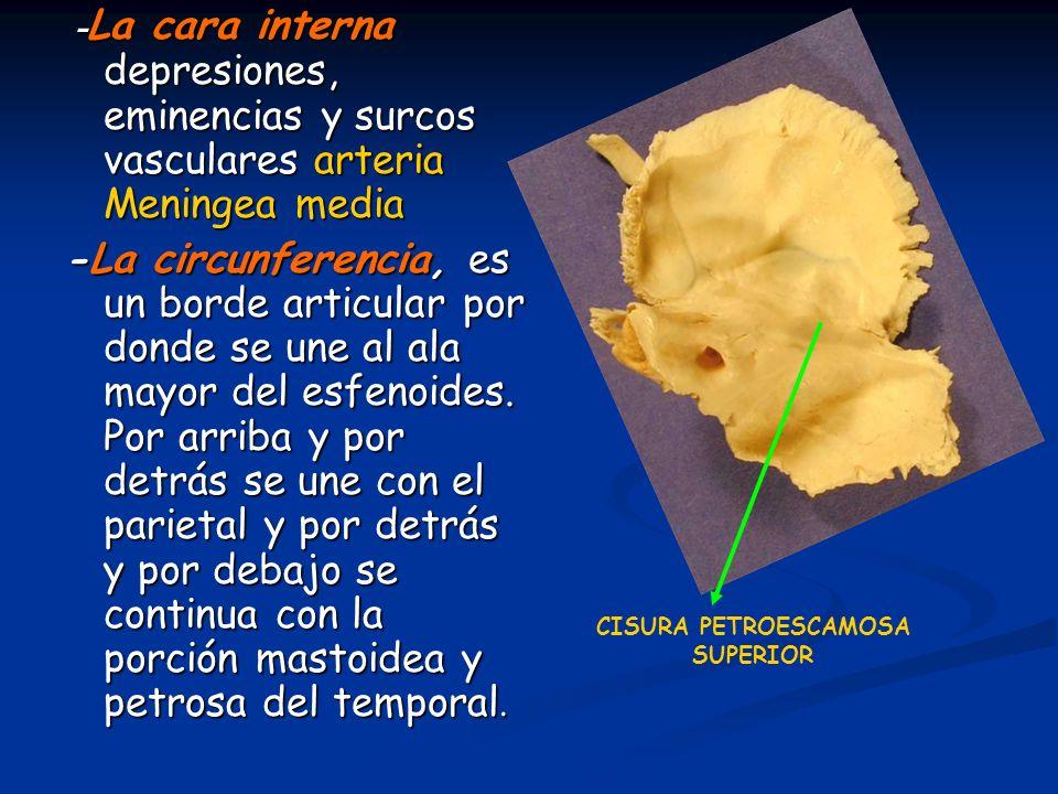 - La cara interna depresiones, eminencias y surcos vasculares arteria Meningea media - La cara interna depresiones, eminencias y surcos vasculares art