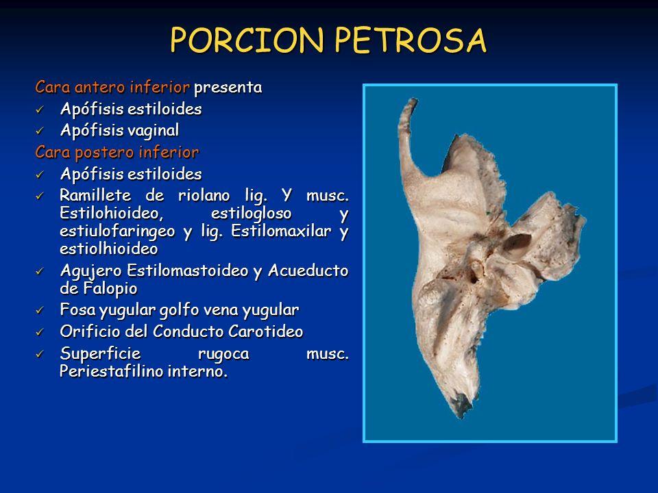 PORCION PETROSA Cara antero inferior presenta Apófisis estiloides Apófisis estiloides Apófisis vaginal Apófisis vaginal Cara postero inferior Apófisis