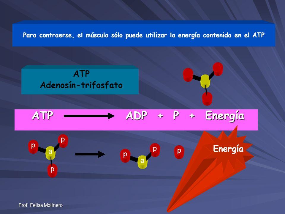 Prof: Felisa Molinero ATP ADP + P + Energía ATP Adenosín-trifosfato p p a p p p a p Para contraerse, el músculo sólo puede utilizar la energía conteni