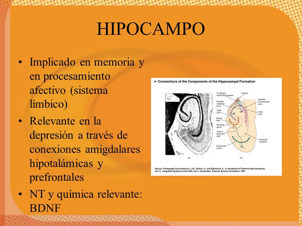 HIPOCAMPO Implicado en memoria y en procesamiento afectivo (sistema límbico) Relevante en la depresión a través de conexiones amigdalares hipotalámica