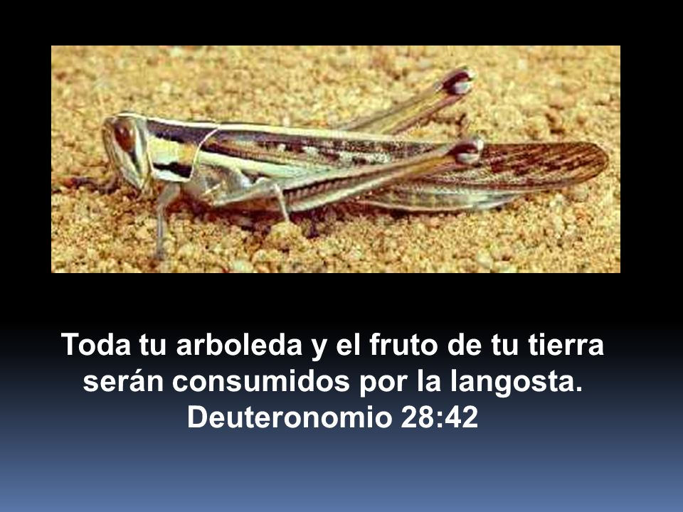 Toda tu arboleda y el fruto de tu tierra serán consumidos por la langosta. Deuteronomio 28:42