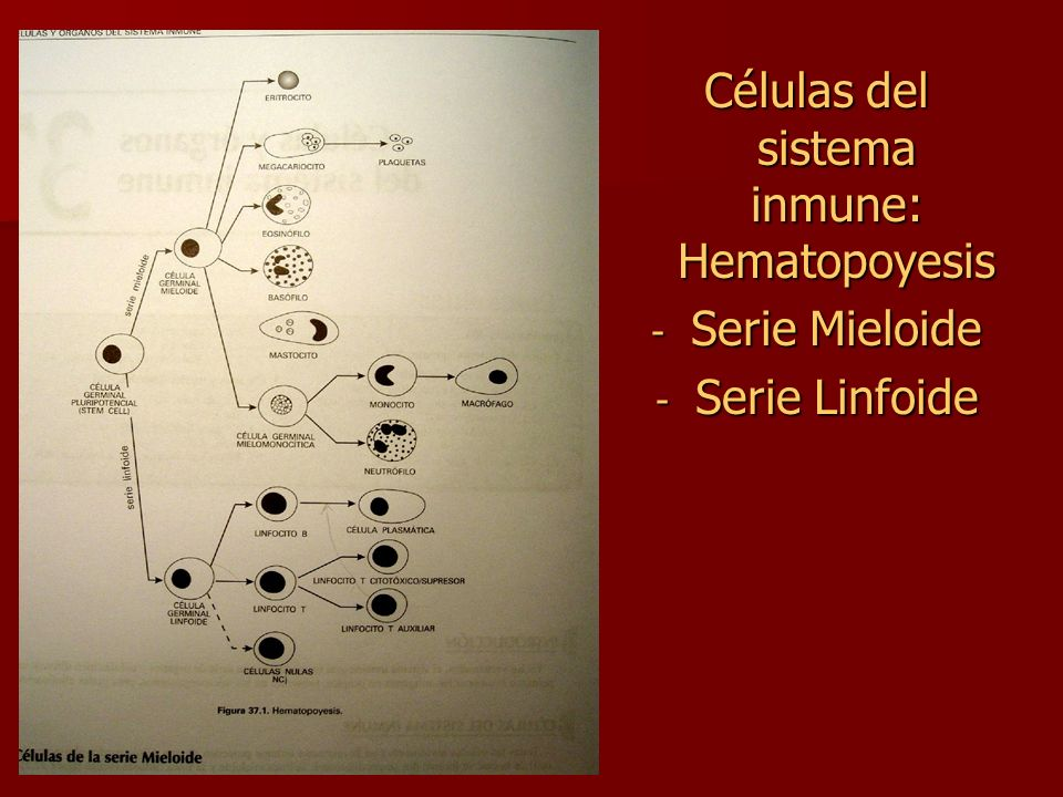 Células del sistema inmune: Hematopoyesis - Serie Mieloide - Serie Linfoide