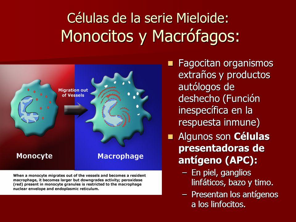 Células de la serie Mieloide: Monocitos y Macrófagos: Fagocitan organismos extraños y productos autólogos de deshecho (Función inespecífica en la resp