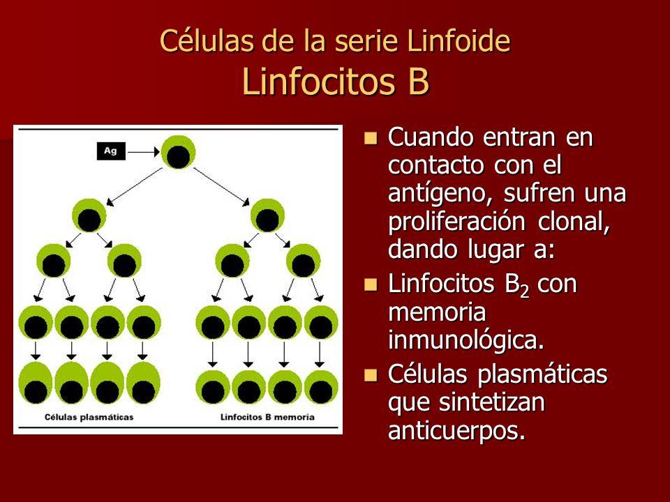 Células de la serie Linfoide Linfocitos B Cuando entran en contacto con el antígeno, sufren una proliferación clonal, dando lugar a: Cuando entran en