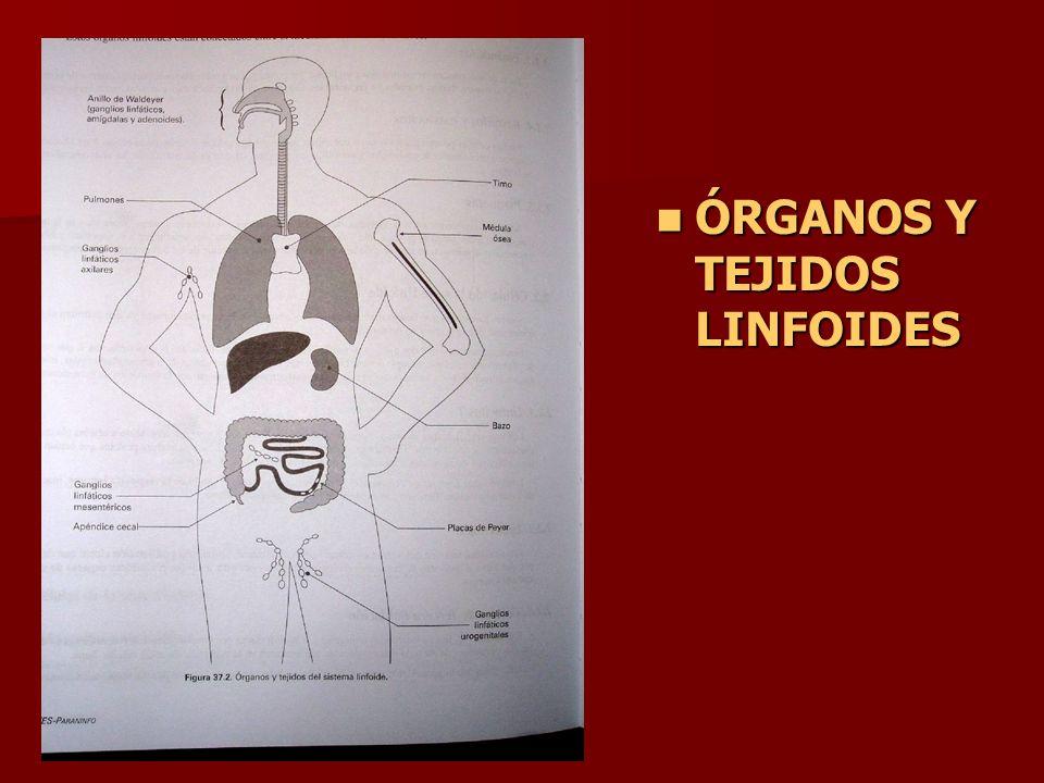 ÓRGANOS Y TEJIDOS LINFOIDES ÓRGANOS Y TEJIDOS LINFOIDES