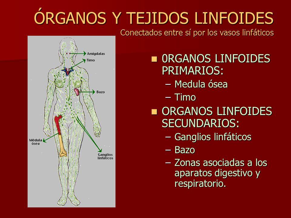ÓRGANOS Y TEJIDOS LINFOIDES Conectados entre sí por los vasos linfáticos 0RGANOS LINFOIDES PRIMARIOS: 0RGANOS LINFOIDES PRIMARIOS: –Medula ósea –Timo