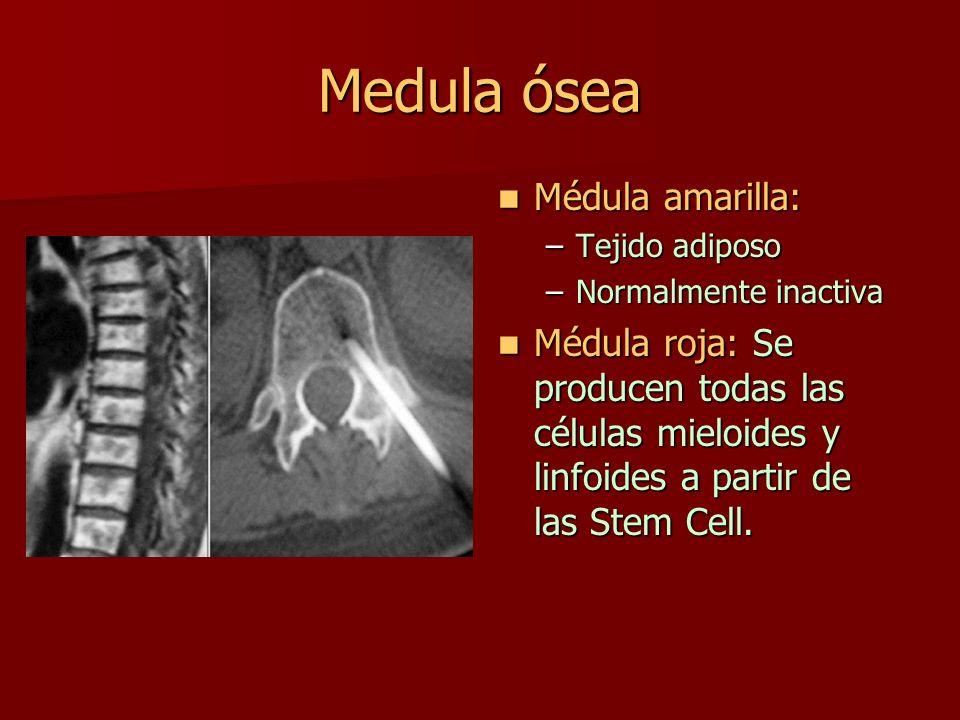 Medula ósea Médula amarilla: Médula amarilla: –Tejido adiposo –Normalmente inactiva Médula roja: Se producen todas las células mieloides y linfoides a