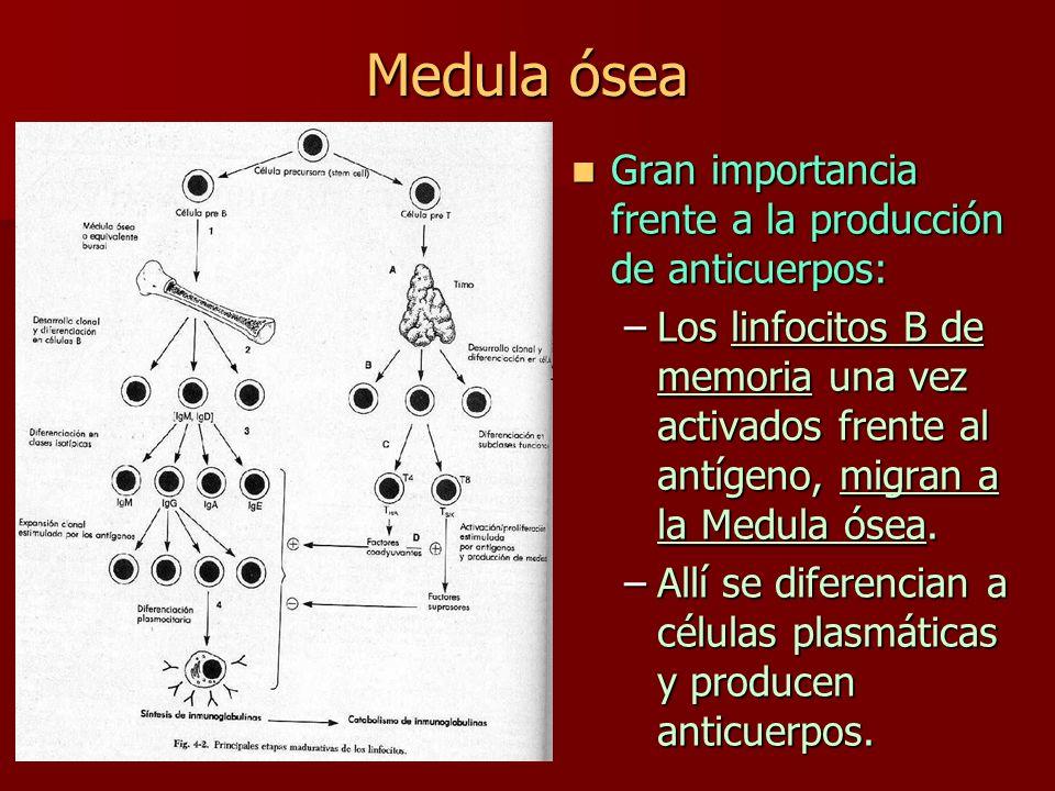Medula ósea Gran importancia frente a la producción de anticuerpos: Gran importancia frente a la producción de anticuerpos: –Los linfocitos B de memor