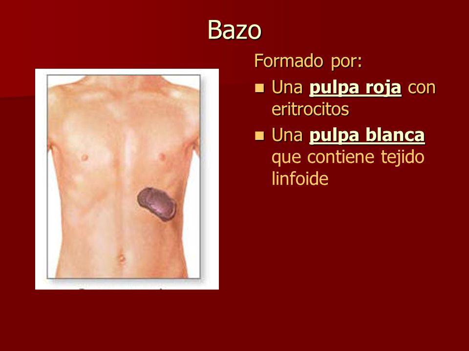 Bazo Formado por: Una pulpa roja con eritrocitos Una pulpa roja con eritrocitos Una pulpa blanca Una pulpa blanca que contiene tejido linfoide