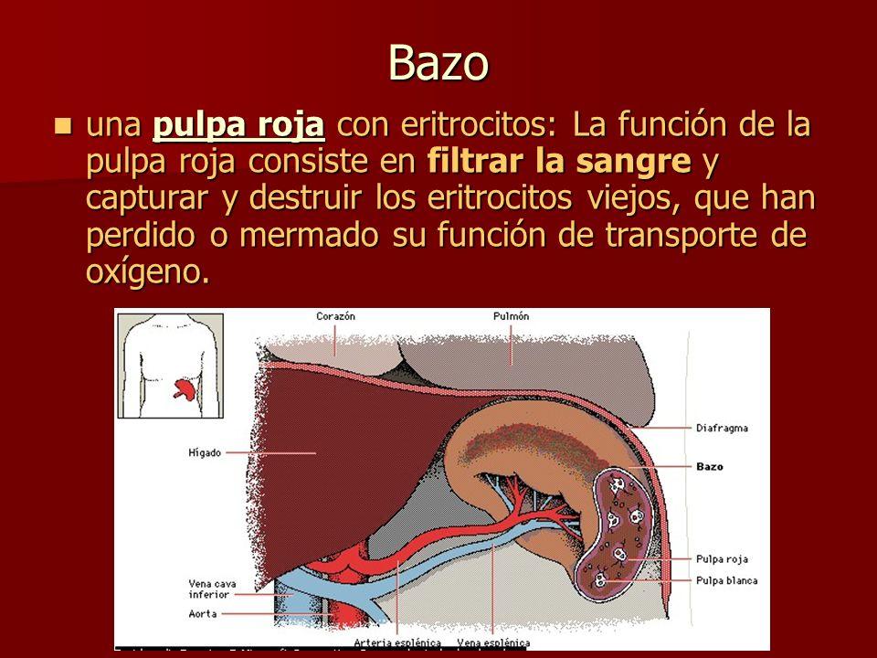 Bazo una pulpa roja con eritrocitos: La función de la pulpa roja consiste en filtrar la sangre y capturar y destruir los eritrocitos viejos, que han p