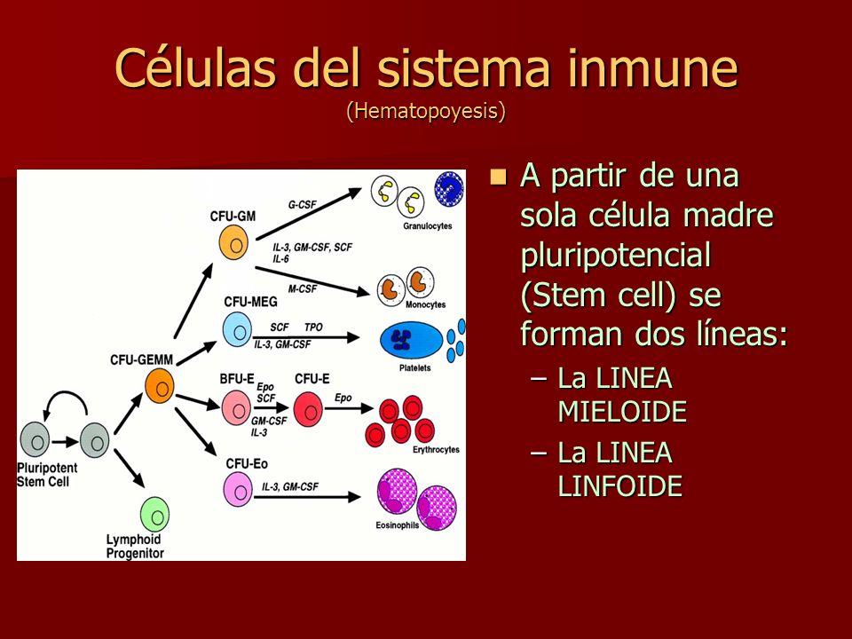 Células del sistema inmune (Hematopoyesis) A partir de una sola célula madre pluripotencial (Stem cell) se forman dos líneas: A partir de una sola cél