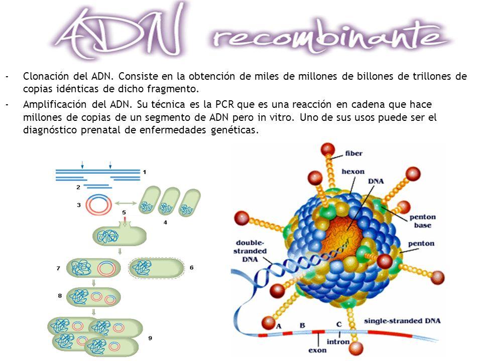 -Clonación del ADN. Consiste en la obtención de miles de millones de billones de trillones de copias idénticas de dicho fragmento. -Amplificación del