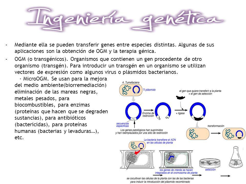 -Mediante ella se pueden transferir genes entre especies distintas. Algunas de sus aplicaciones son la obtención de OGM y la terapia génica. -OGM (o t