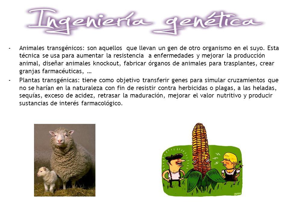 -Animales transgénicos: son aquellos que llevan un gen de otro organismo en el suyo. Esta técnica se usa para aumentar la resistencia a enfermedades y