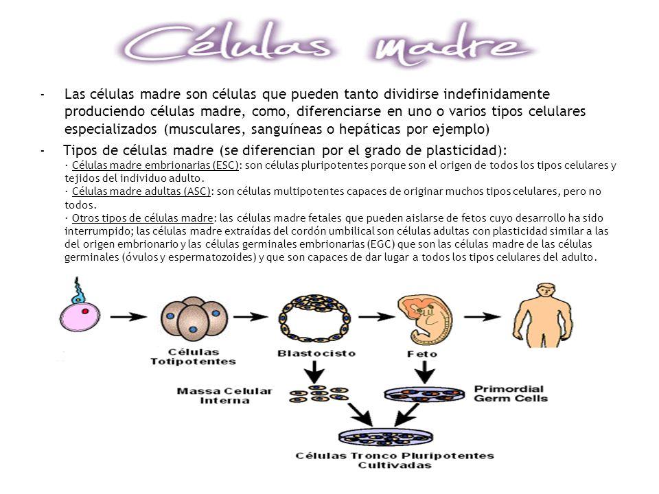 -Las células madre son células que pueden tanto dividirse indefinidamente produciendo células madre, como, diferenciarse en uno o varios tipos celular