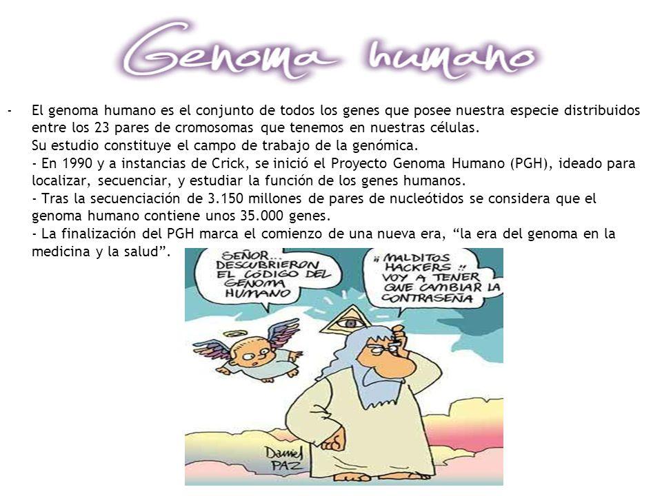 -El genoma humano es el conjunto de todos los genes que posee nuestra especie distribuidos entre los 23 pares de cromosomas que tenemos en nuestras cé