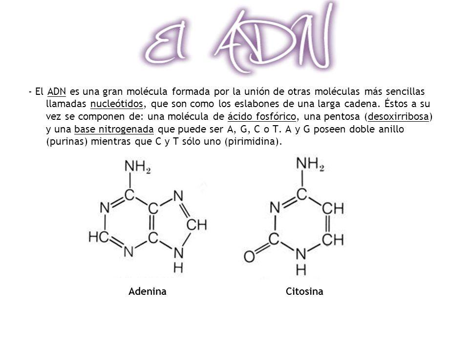 - El ADN es una gran molécula formada por la unión de otras moléculas más sencillas llamadas nucleótidos, que son como los eslabones de una larga cade
