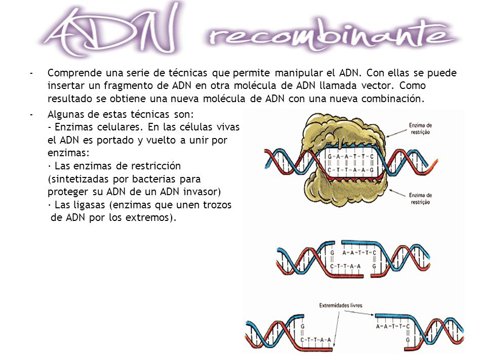 -Comprende una serie de técnicas que permite manipular el ADN. Con ellas se puede insertar un fragmento de ADN en otra molécula de ADN llamada vector.