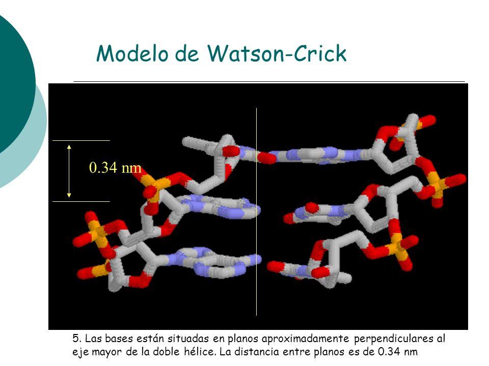 5. Las bases están situadas en planos aproximadamente perpendiculares al eje mayor de la doble hélice. La distancia entre planos es de 0.34 nm 0.34 nm