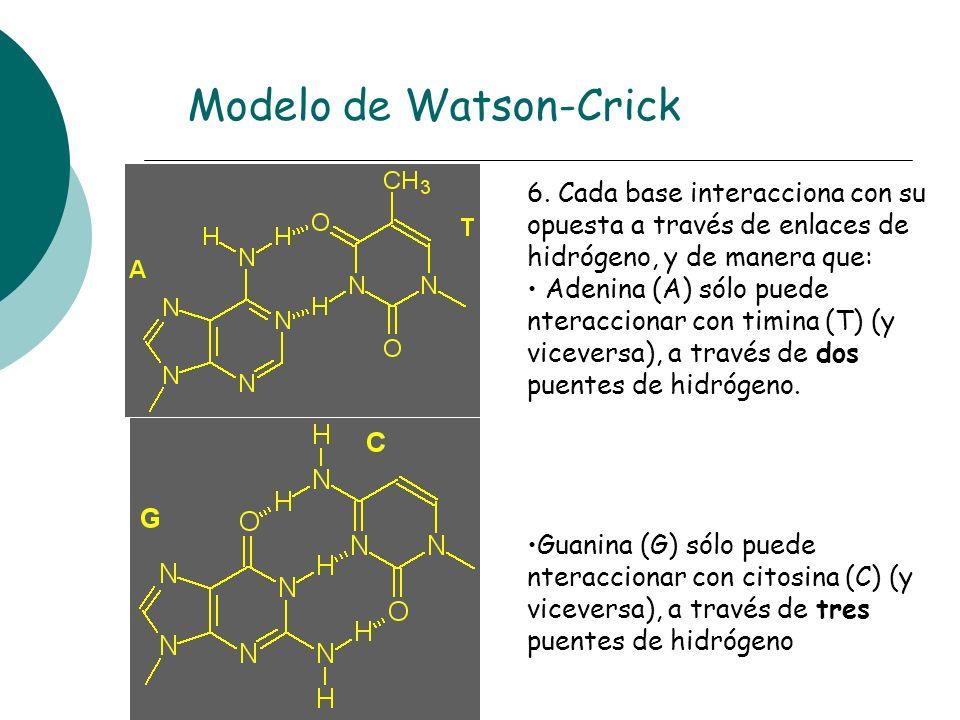 6. Cada base interacciona con su opuesta a través de enlaces de hidrógeno, y de manera que: Adenina (A) sólo puede nteraccionar con timina (T) (y vice