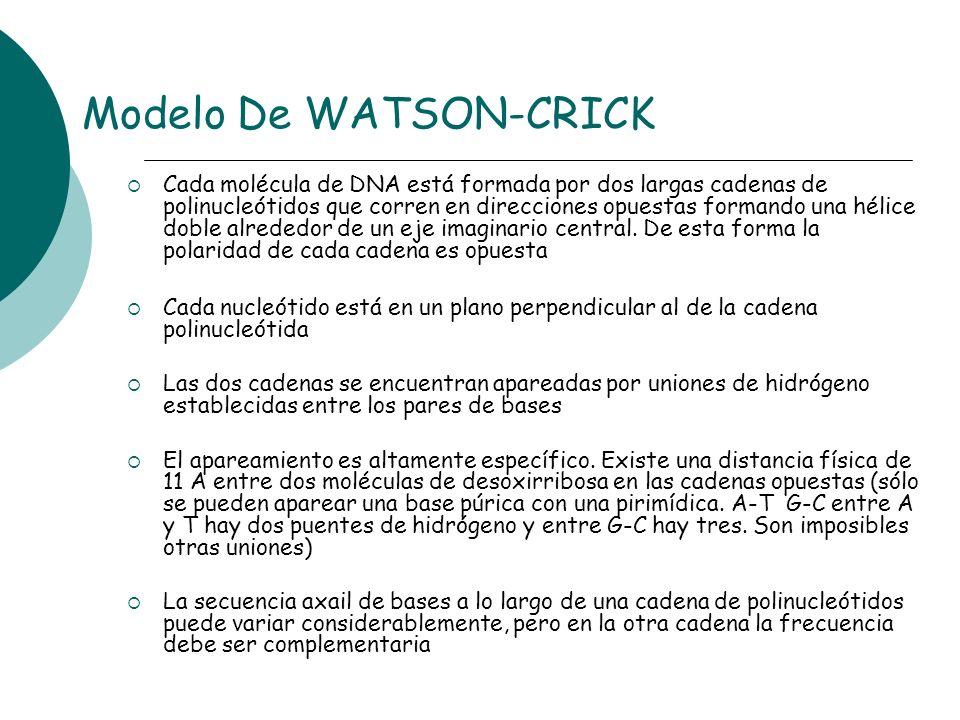 Modelo De WATSON-CRICK Cada molécula de DNA está formada por dos largas cadenas de polinucleótidos que corren en direcciones opuestas formando una hél