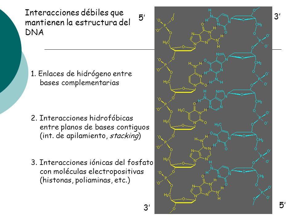 5 3 3 5 Interacciones débiles que mantienen la estructura del DNA 1. Enlaces de hidrógeno entre bases complementarias 2. Interacciones hidrofóbicas en