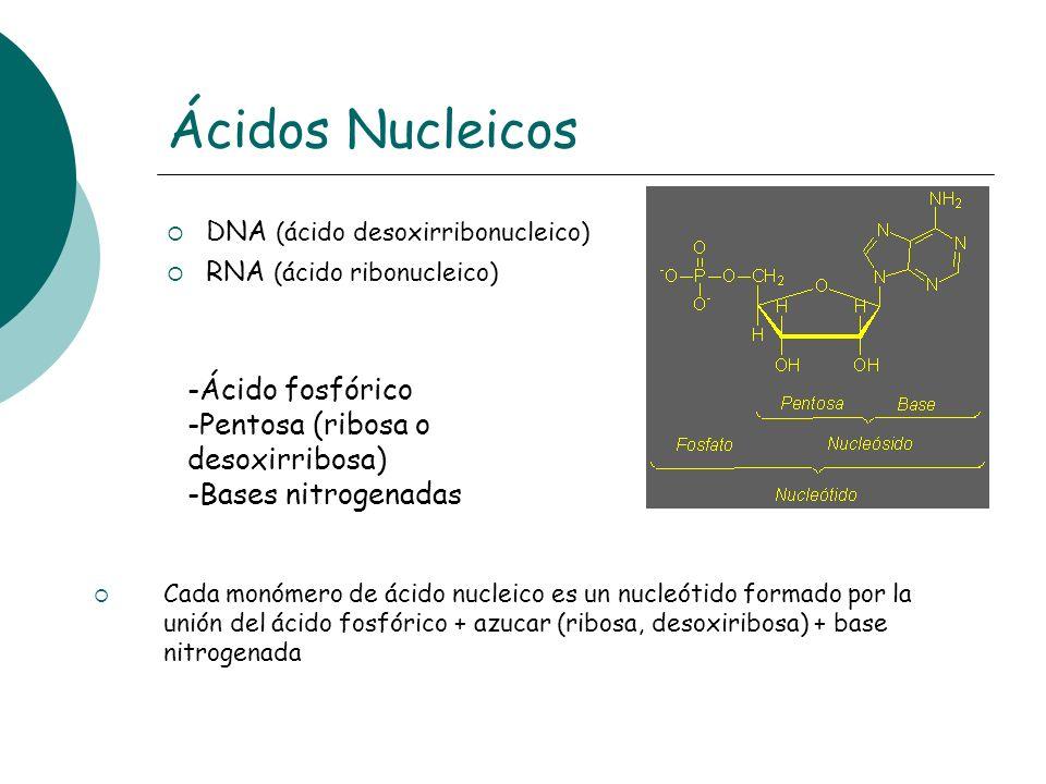 Ácidos Nucleicos DNA (ácido desoxirribonucleico) RNA (ácido ribonucleico) -Ácido fosfórico -Pentosa (ribosa o desoxirribosa) -Bases nitrogenadas Cada