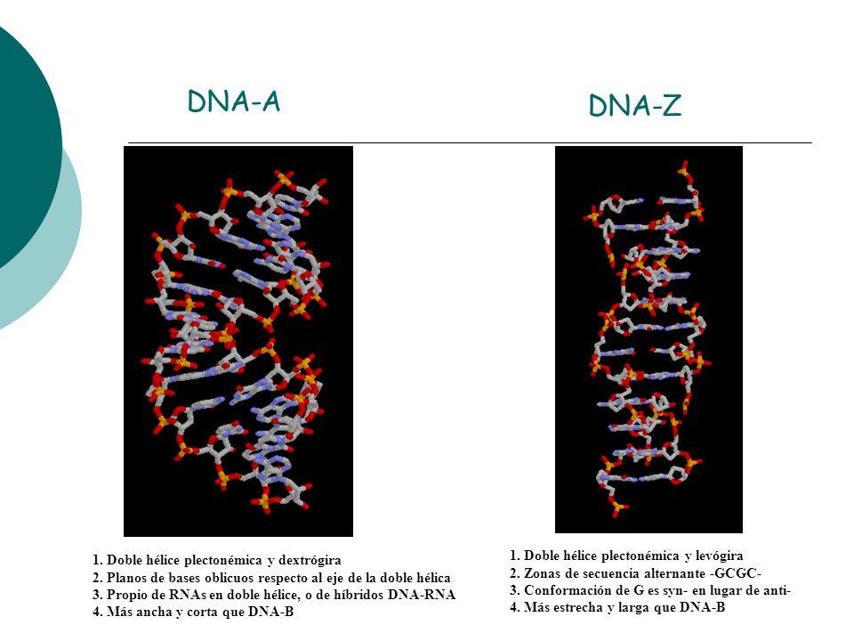 DNA-A 1. Doble hélice plectonémica y dextrógira 2. Planos de bases oblicuos respecto al eje de la doble hélica 3. Propio de RNAs en doble hélice, o de