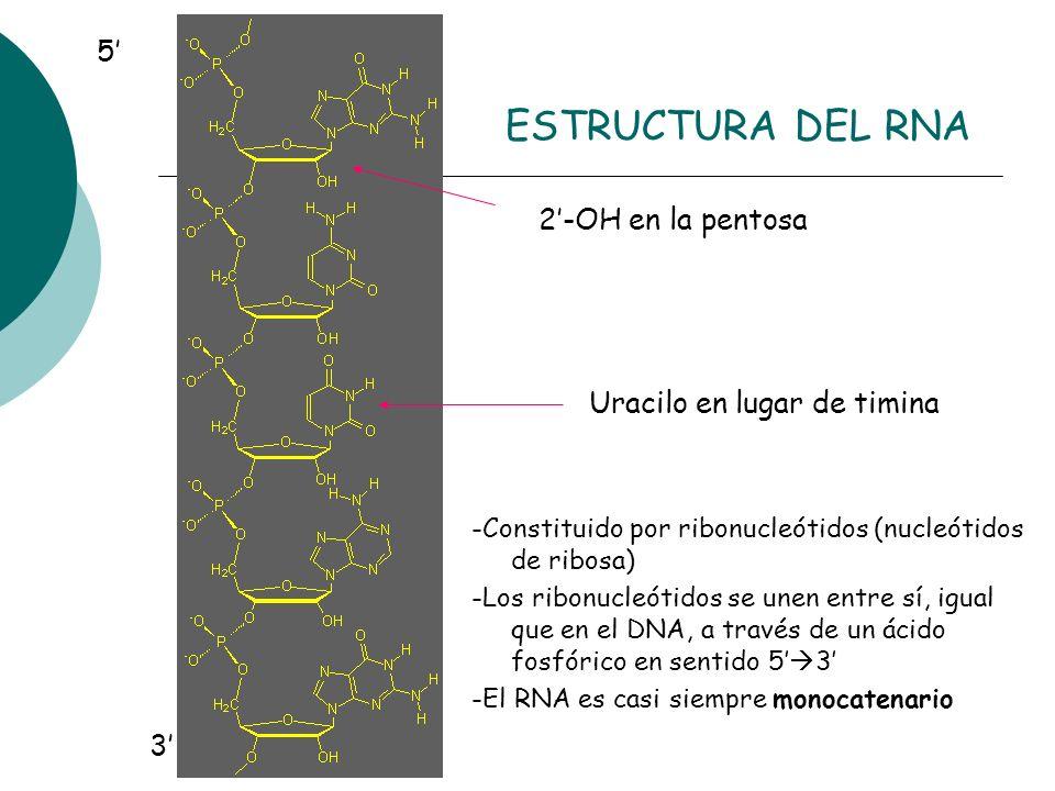 Uracilo en lugar de timina 2-OH en la pentosa 5 3 ESTRUCTURA DEL RNA -Constituido por ribonucleótidos (nucleótidos de ribosa) -Los ribonucleótidos se