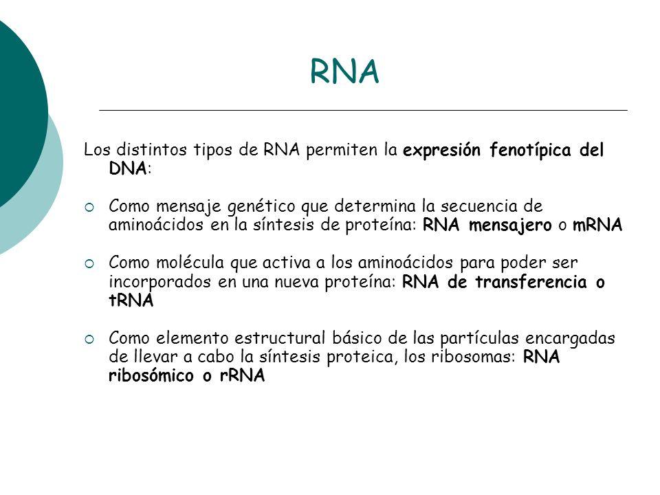 RNA Los distintos tipos de RNA permiten la expresión fenotípica del DNA: Como mensaje genético que determina la secuencia de aminoácidos en la síntesi