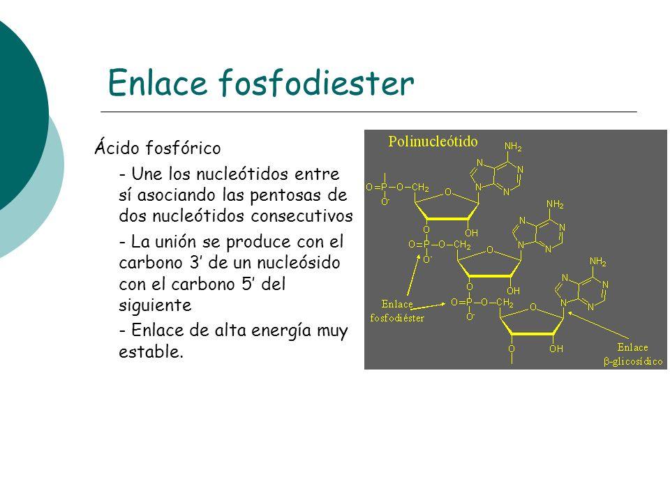 Enlace fosfodiester Ácido fosfórico - Une los nucleótidos entre sí asociando las pentosas de dos nucleótidos consecutivos - La unión se produce con el