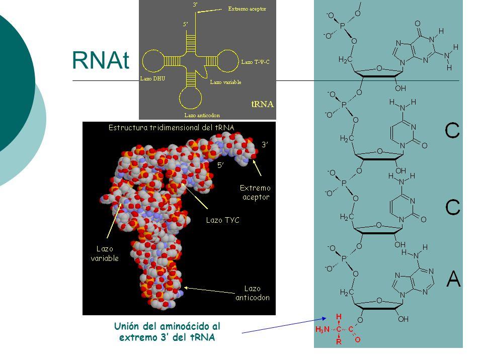 Unión del aminoácido al extremo 3 del tRNA RNAt