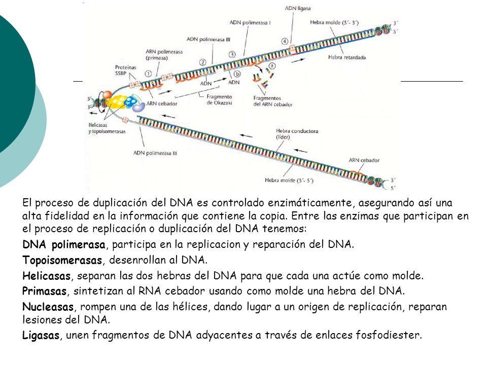 El proceso de duplicación del DNA es controlado enzimáticamente, asegurando así una alta fidelidad en la información que contiene la copia. Entre las