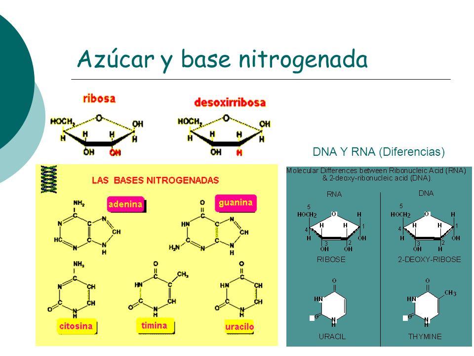 Azúcar y base nitrogenada DNA Y RNA (Diferencias)