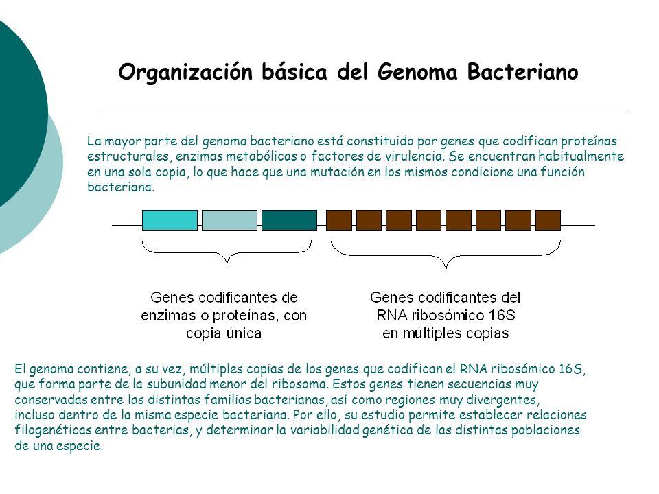 El genoma contiene, a su vez, múltiples copias de los genes que codifican el RNA ribosómico 16S, que forma parte de la subunidad menor del ribosoma. E