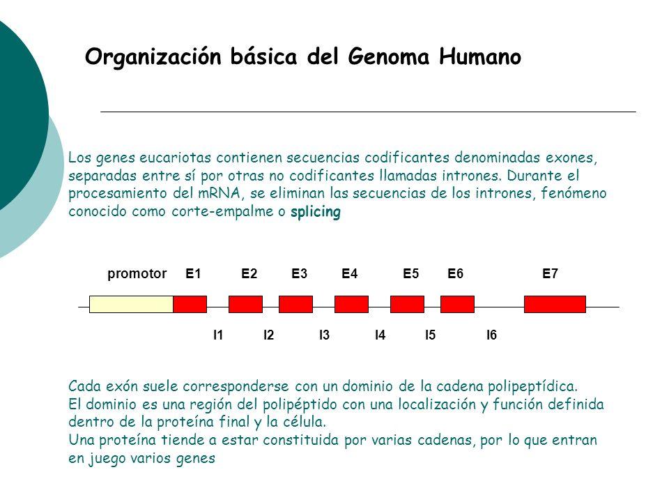 Organización básica del Genoma Humano promotorE1E2E3E4E7E5E6 I1I3I2I6I4I5 Cada exón suele corresponderse con un dominio de la cadena polipeptídica. El