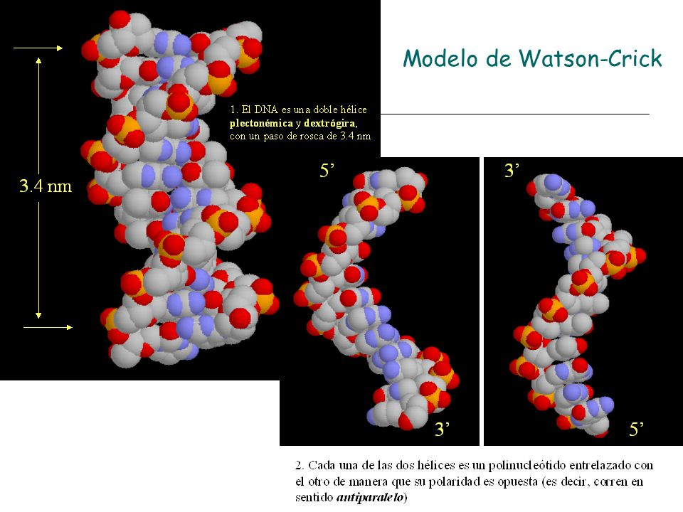 Modelo de Watson-Crick