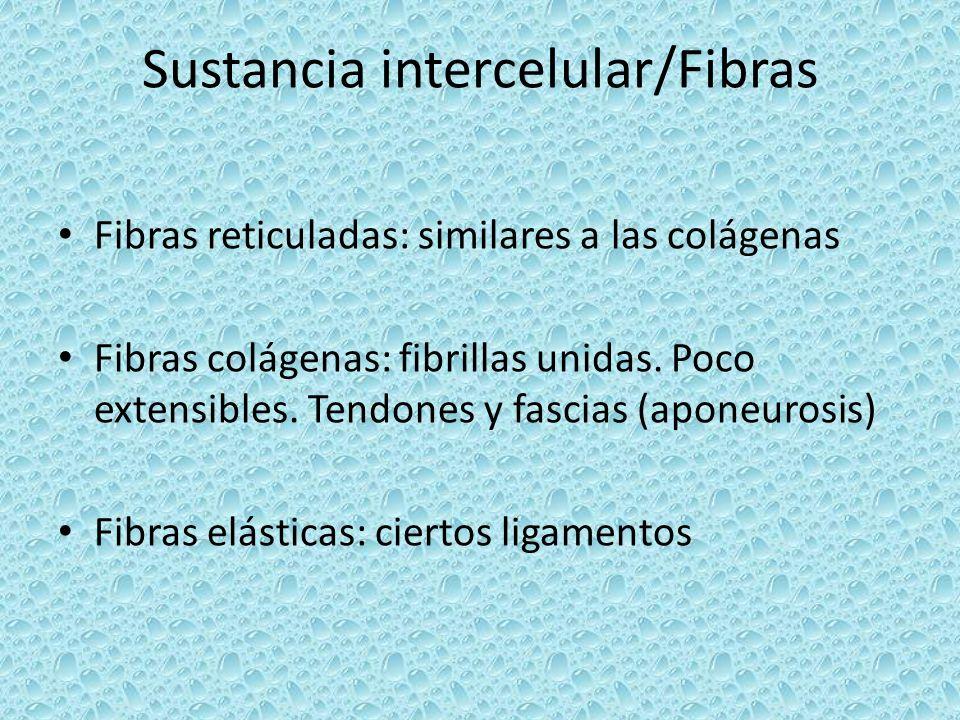 Sustancia intercelular/Fibras Fibras reticuladas: similares a las colágenas Fibras colágenas: fibrillas unidas. Poco extensibles. Tendones y fascias (
