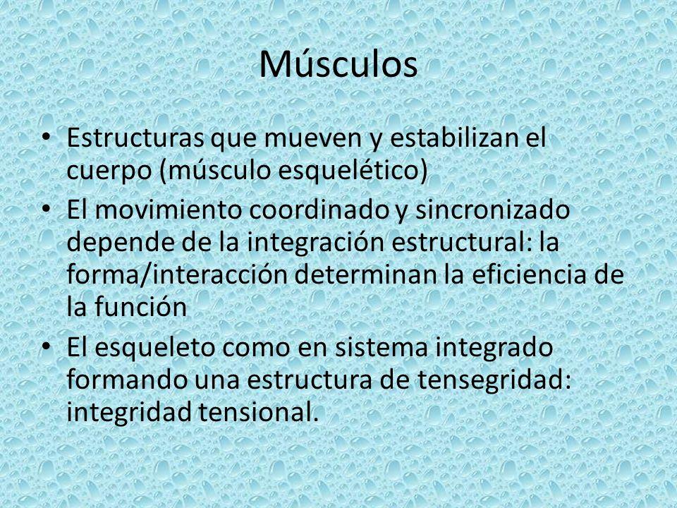 Músculos Estructuras que mueven y estabilizan el cuerpo (músculo esquelético) El movimiento coordinado y sincronizado depende de la integración estruc