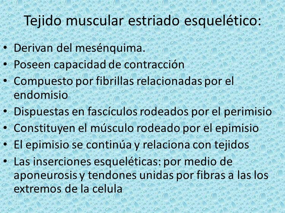 Tejido muscular estriado esquelético: Derivan del mesénquima. Poseen capacidad de contracción Compuesto por fibrillas relacionadas por el endomisio Di