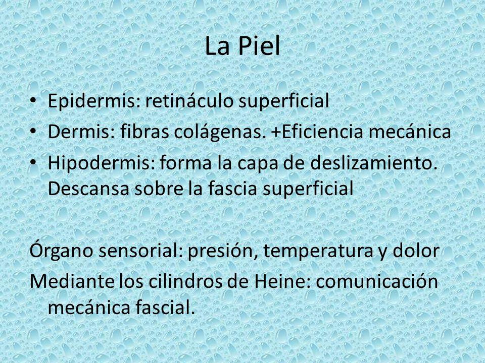 La Piel Epidermis: retináculo superficial Dermis: fibras colágenas. +Eficiencia mecánica Hipodermis: forma la capa de deslizamiento. Descansa sobre la