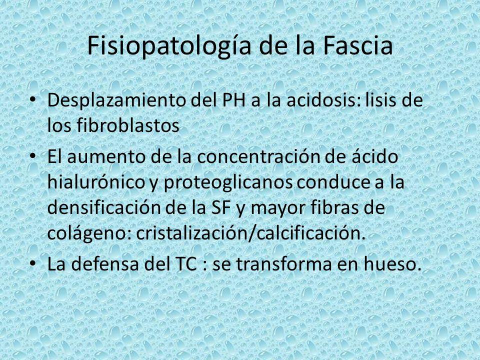 Fisiopatología de la Fascia Desplazamiento del PH a la acidosis: lisis de los fibroblastos El aumento de la concentración de ácido hialurónico y prote
