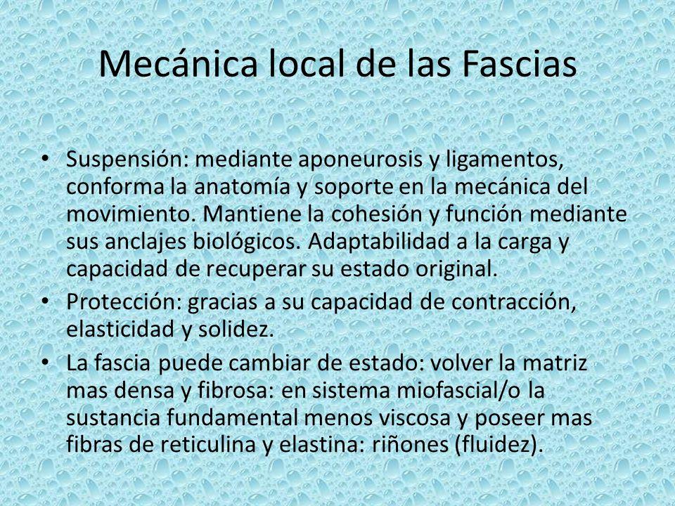 Mecánica local de las Fascias Suspensión: mediante aponeurosis y ligamentos, conforma la anatomía y soporte en la mecánica del movimiento. Mantiene la