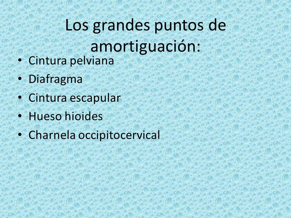 Los grandes puntos de amortiguación: Cintura pelviana Diafragma Cintura escapular Hueso hioides Charnela occipitocervical