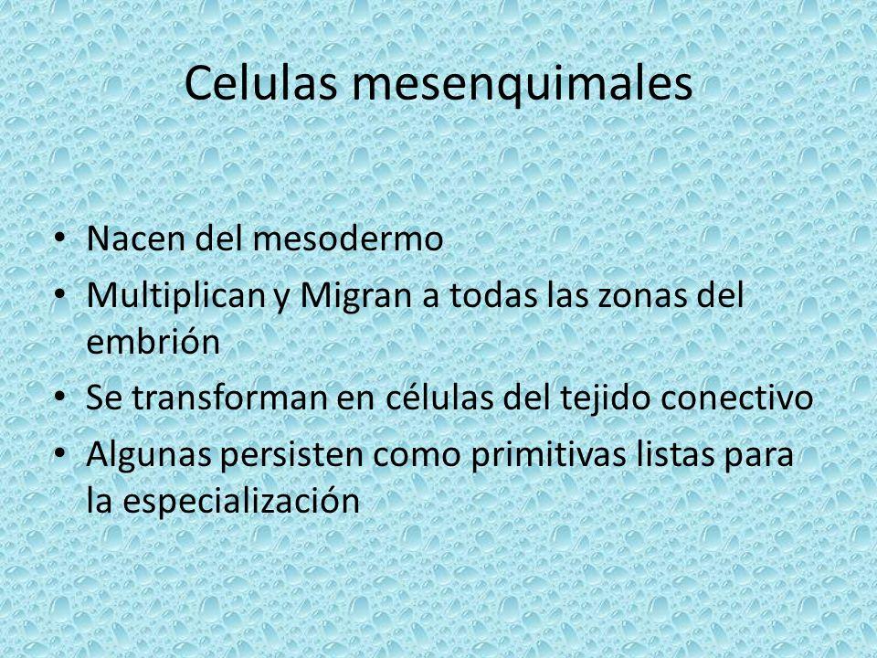 Celulas mesenquimales Nacen del mesodermo Multiplican y Migran a todas las zonas del embrión Se transforman en células del tejido conectivo Algunas pe