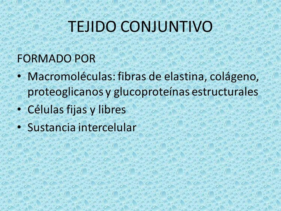 TEJIDO CONJUNTIVO FORMADO POR Macromoléculas: fibras de elastina, colágeno, proteoglicanos y glucoproteínas estructurales Células fijas y libres Susta