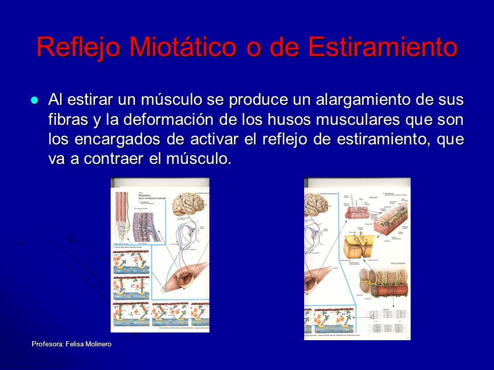 Profesora: Felisa Molinero Reflejo Miotático o de Estiramiento Al estirar un músculo se produce un alargamiento de sus fibras y la deformación de los