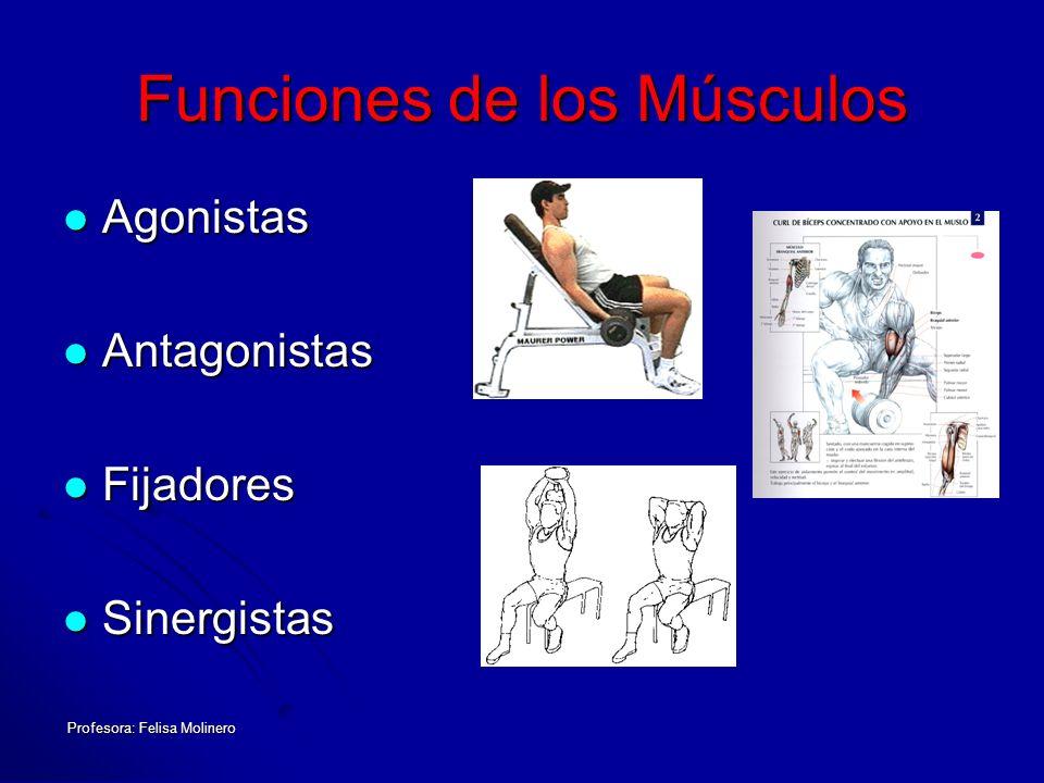Funciones de los Músculos Agonistas Agonistas Antagonistas Antagonistas Fijadores Fijadores Sinergistas Sinergistas
