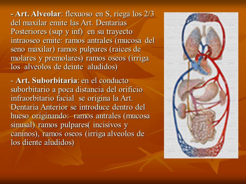 - Art. Alveolar: flexuoso en S, riega los 2/3 del maxilar emite las Art. Dentarias Posteriores (sup y inf) en su trayecto intraoseo emite: ramos antra