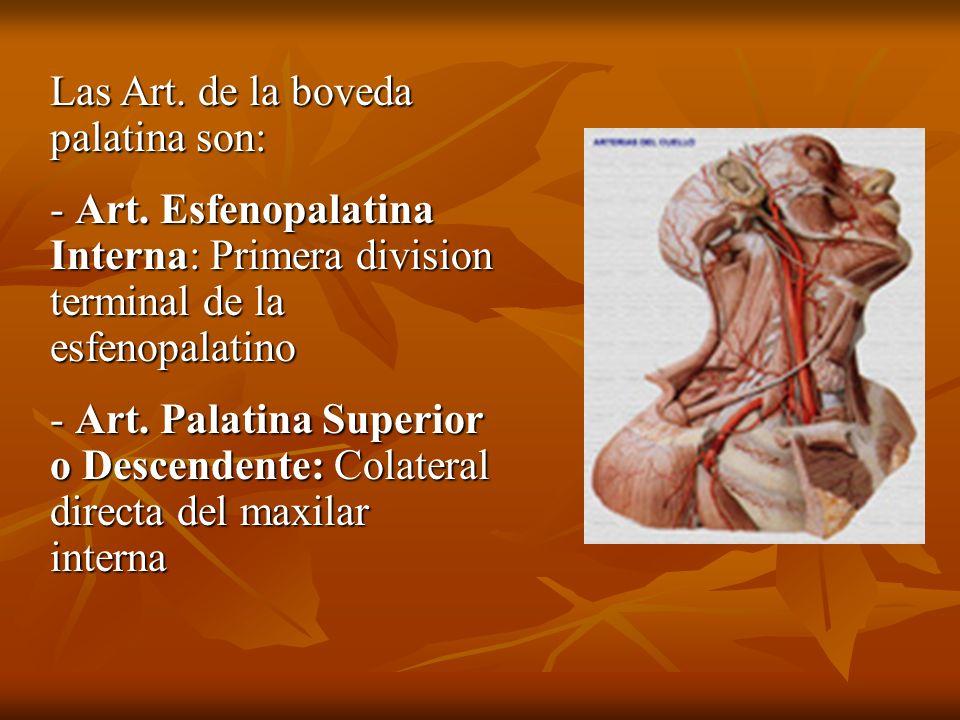 Las Art. de la boveda palatina son: - Art. Esfenopalatina Interna: Primera division terminal de la esfenopalatino - Art. Palatina Superior o Descenden